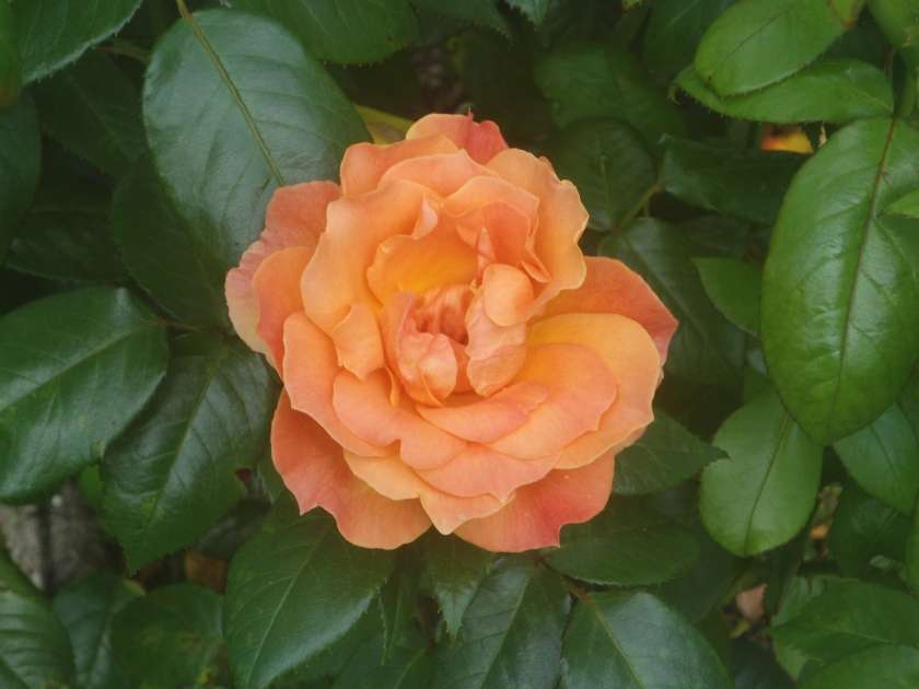 Rosa 'Fellowship'