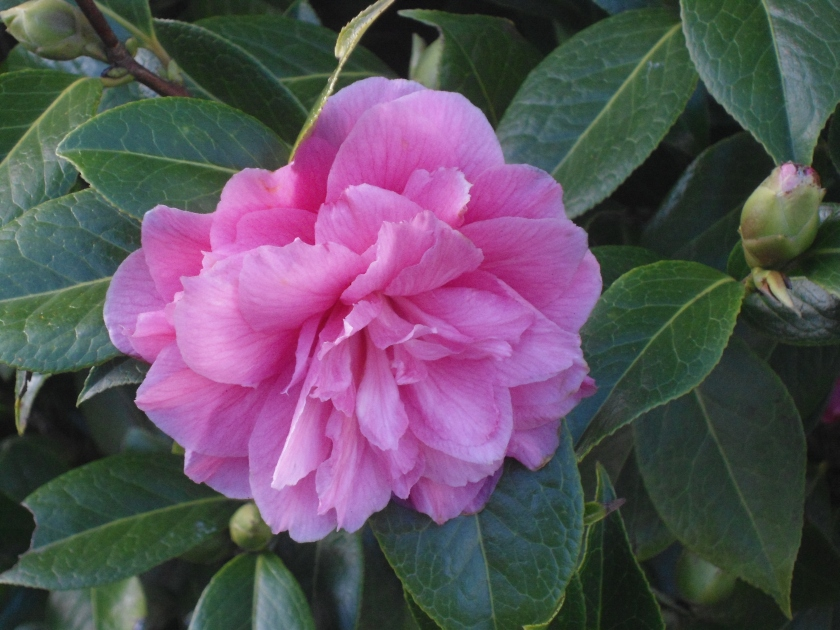 My Pink Camellia