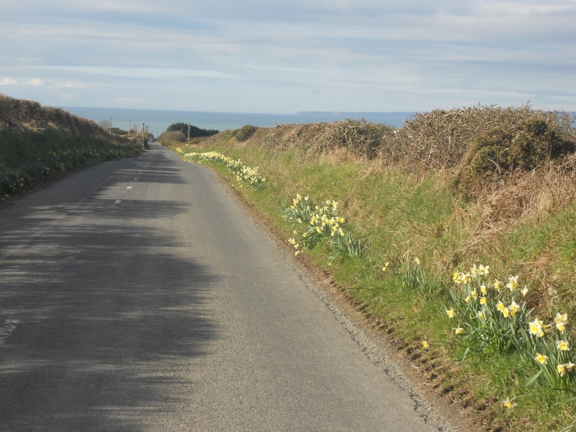 The Daffodils on the Annestown Road, Co. Waterford.