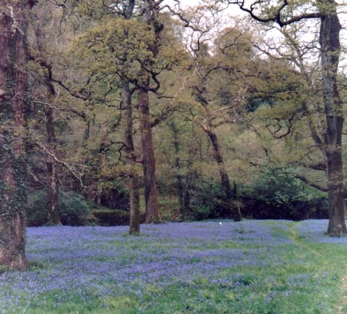 Bluebells, Curraghmore, Co. Waterford Photo: Frank Tubridy