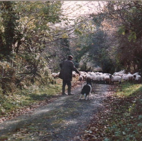 Sheep at Evening in Co. Waterford Photo: Frank Tubridy