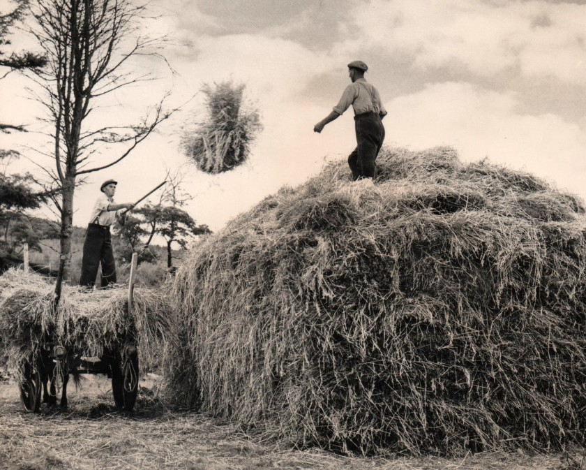 Haymaking c. 1960 Photo: Frank Tubridy