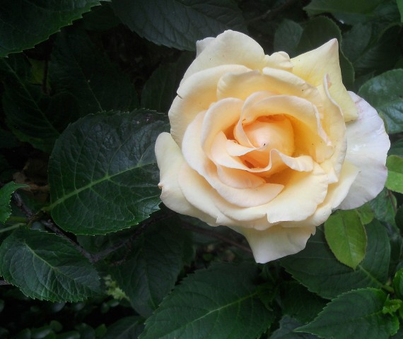 Rose 'Poetry in Motion'