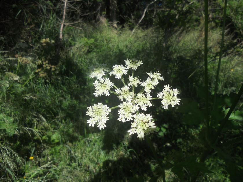 Meadowsweet in Newtown Wood