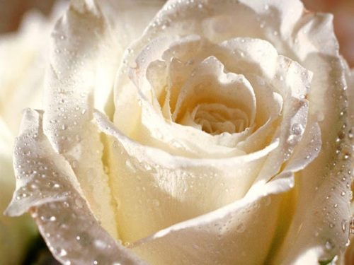 white roses flowers wallpapers (1)