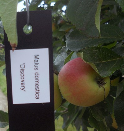 Apples in Mount Congreve Gardens, Co. Waterford