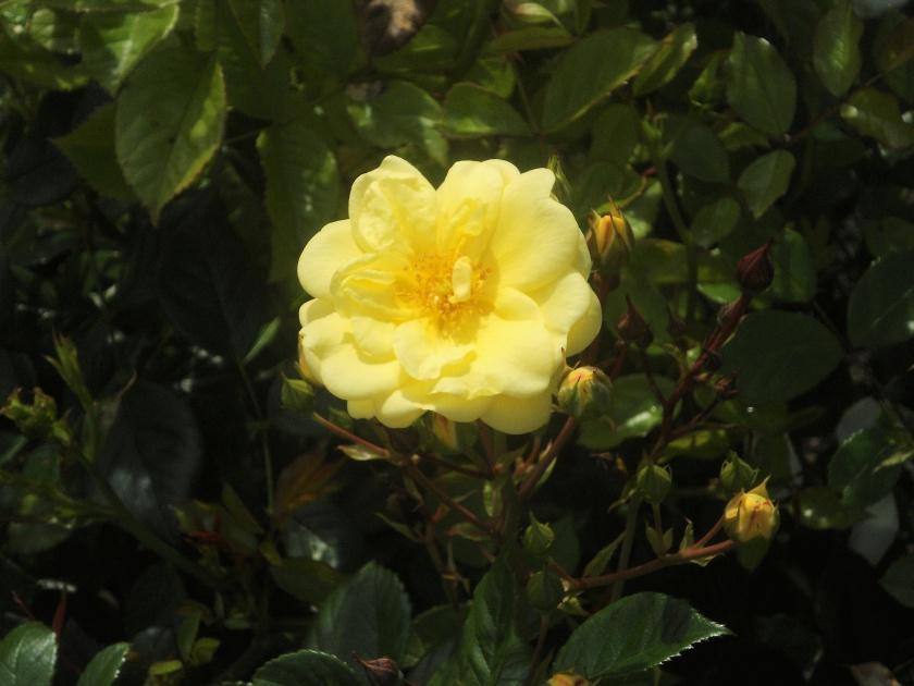 Rosa 'Golden Memories'