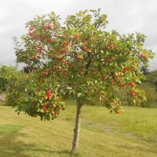 MC Apples