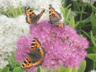 MC Butterflies