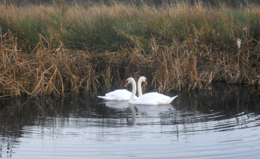 Swans in the Anne Valley, Co. Waterford