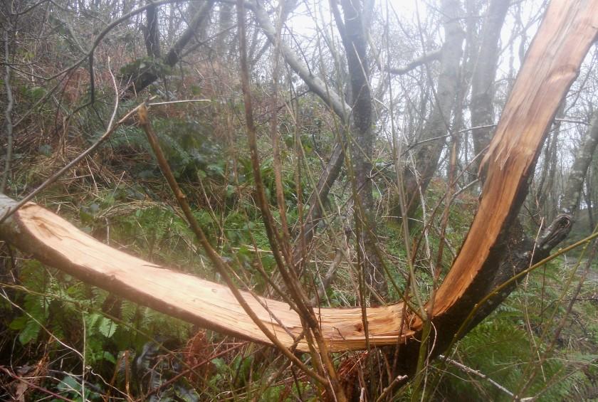 Fractured Tree in Winter Storm