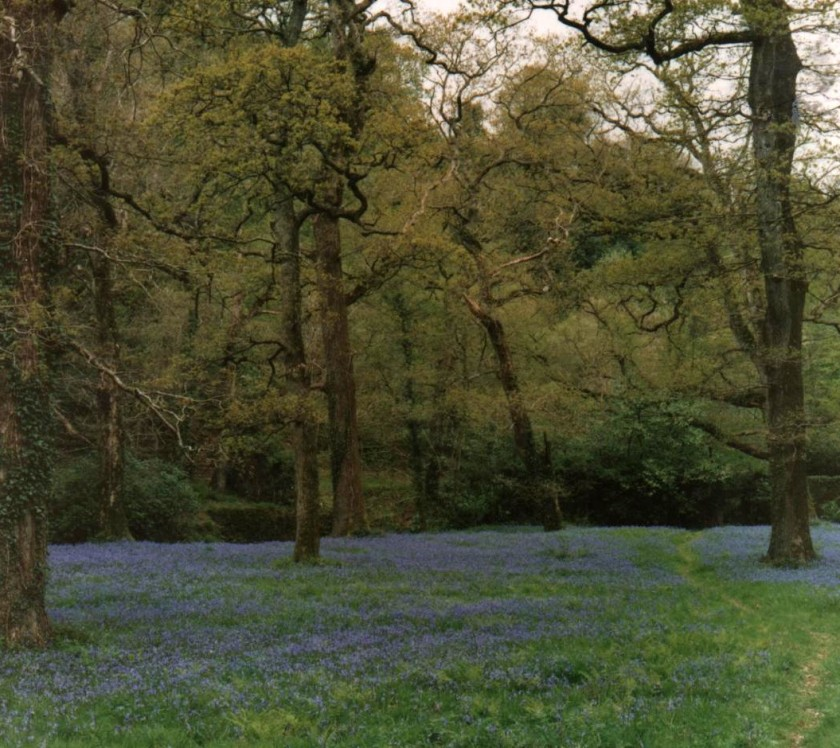 Carpet of Bluebells Photo: Frank Tubridy