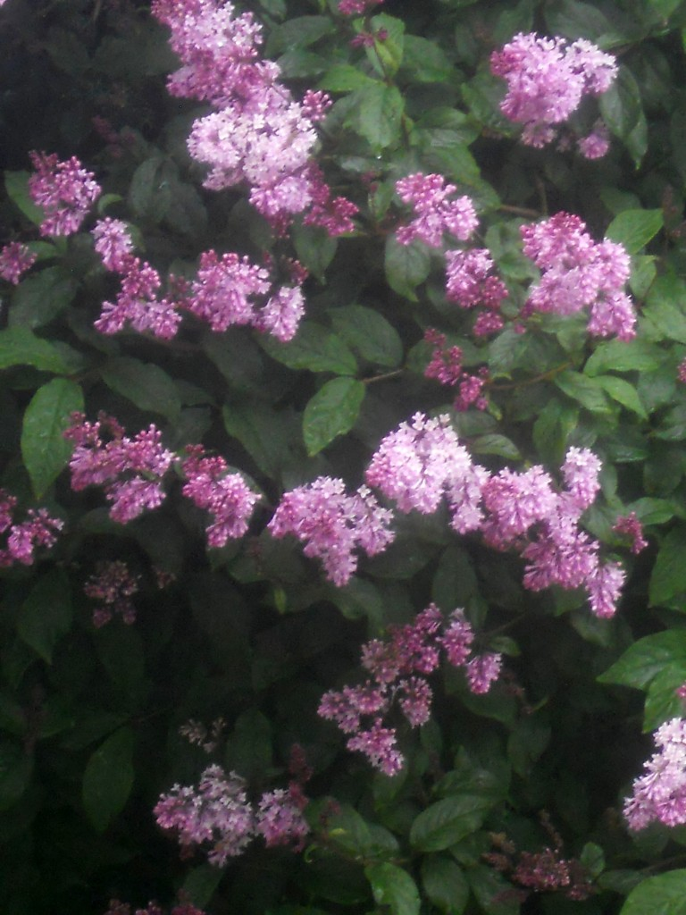 Our Lilac Tree