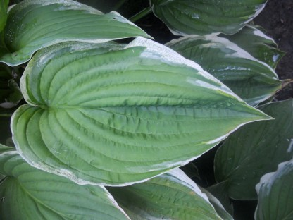 Hosta Hearts by the Summer House