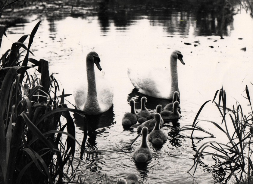 Swan Family Photo: Frank Tubridy