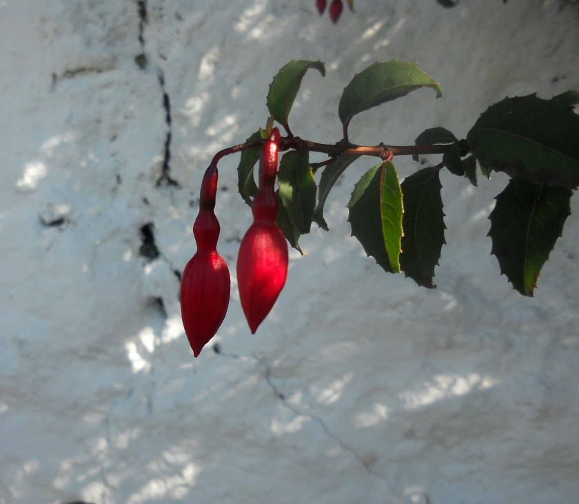 Fuschia Hanging by White-washed Wall