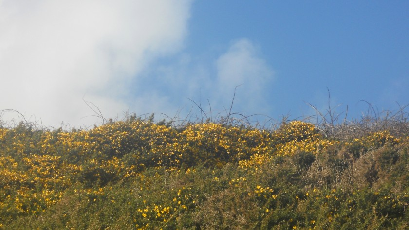 Gorse at Annestown, Co. Waterford