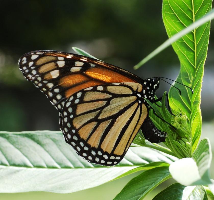 Monarch Butterfly Source: Wikipedia