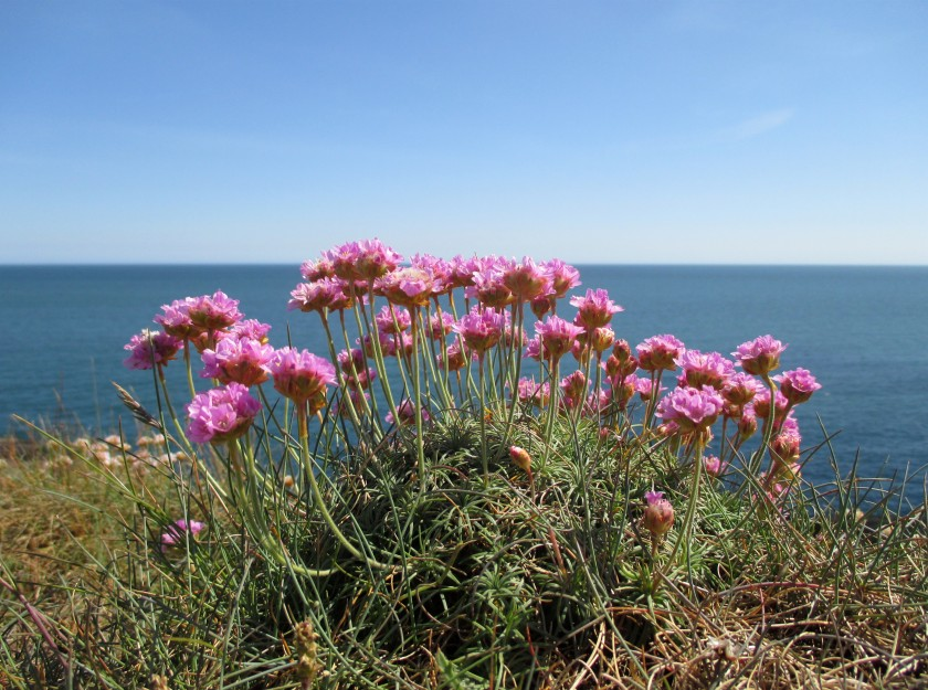 Sea Pinks
