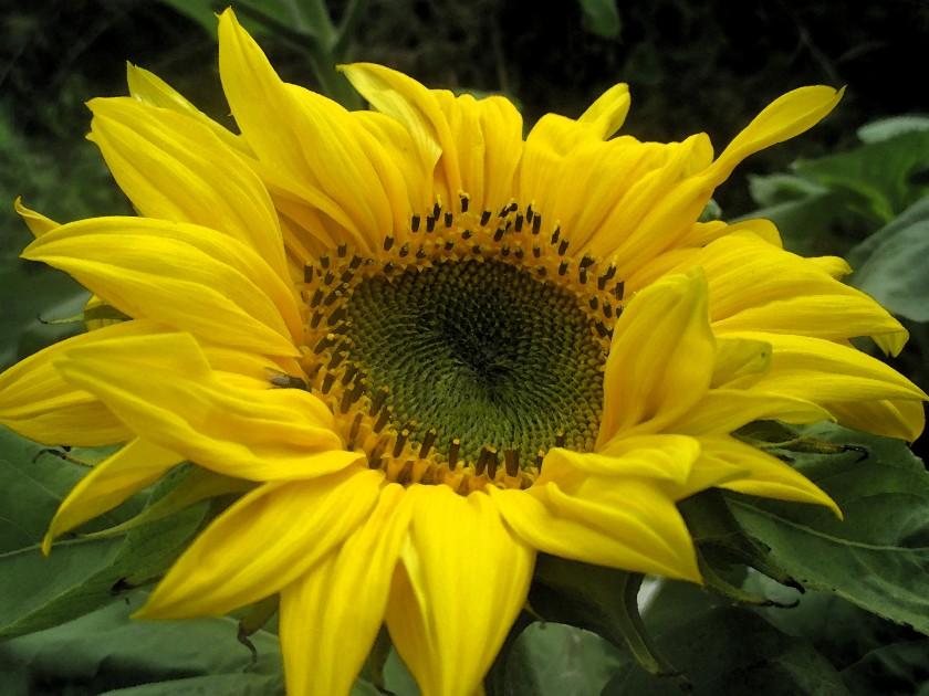 Sunflower in the School Yard round our Block.