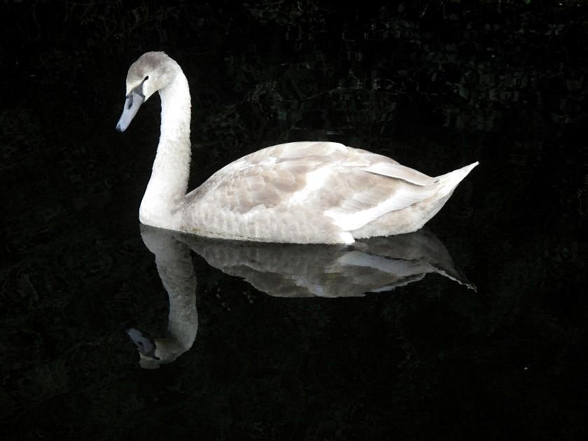 swan-5